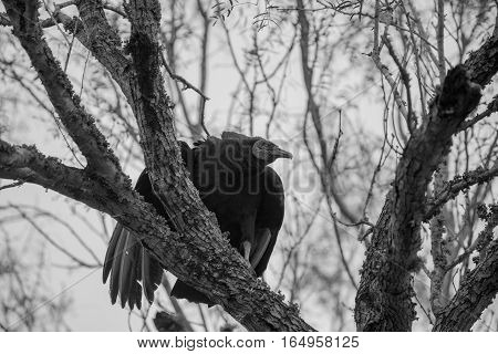 Black vulture looks like he is having trouble.
