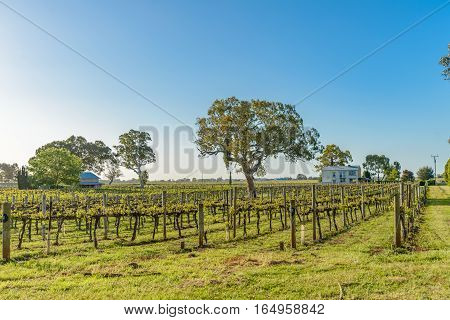 Vineyards at Coonawarra in South Australia in spring evening sunlight.