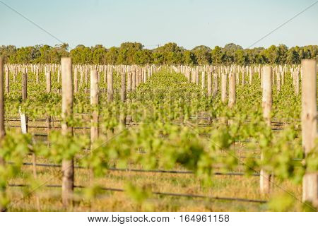 Vineyards at Coonawarra in South Australia in spring evening sunlight. (selective focus)