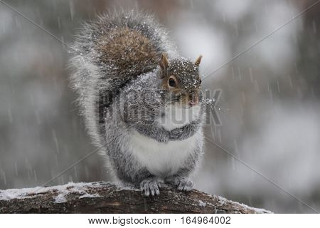 A gray squirrel standing on a branch in a winter snow storm.