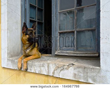 A beautiful german shepherd dog laying down in a rustic window sill in the Summer