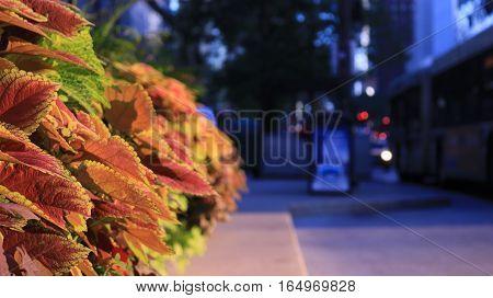 Coleus plants line the sidewalk of Chicago.