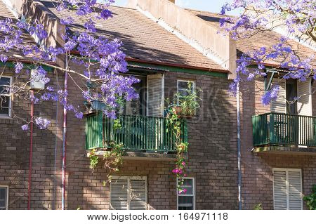Blooming Jacaranda Tree With Generic House On The Background