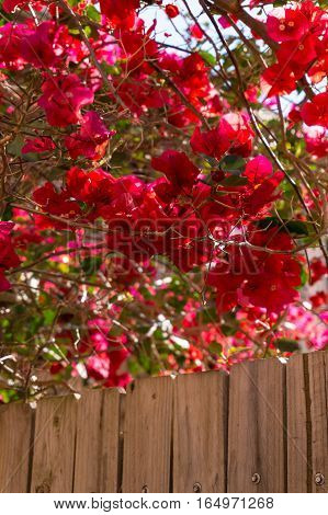 Blooming Red Flowers With Wooden Fence