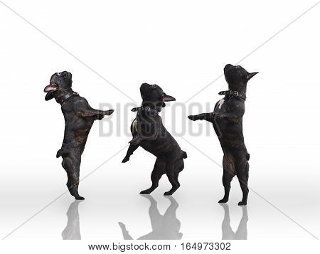 Three black dogs standing on their hind legs. White background. French bulldogs