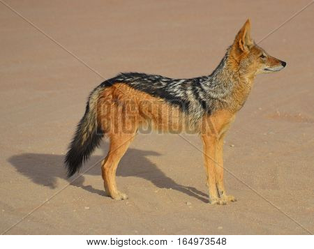 The black-backed jackal (Canis mesomelas) is a canid native to two areas of Africa, separated by roughly 900 km is a very ancient species, and has changed little since the Pleistocene