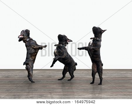 Three black dogs standing on their hind legs. Wooden floor white wall. French bulldogs