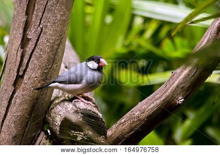 the Java sparrow is sitting in a tree