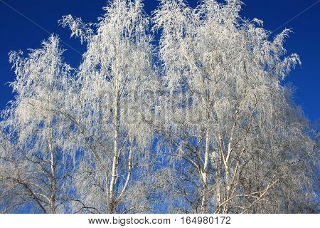 Russian birch trees covered with snow and ice. Nature winter in Siberia. Irkutsk. Russia.