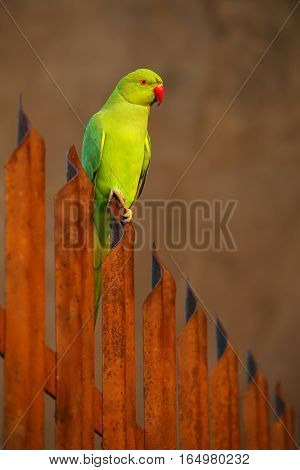 Rose-ringed Parakeet Sitting On A Fence In Agra Fort, India
