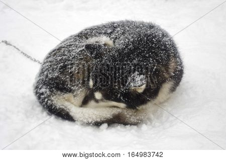 Siberian Husky curled up and asleep in the snow
