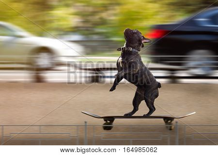 Funny dog riding a skateboard. Movement speed