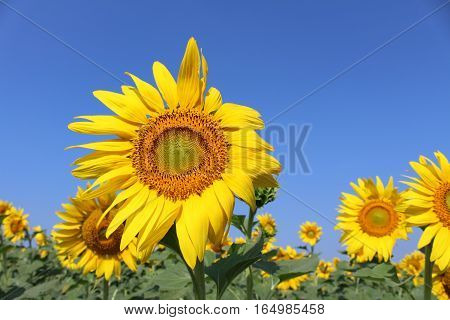 big sunflower on sunny day in Thailand