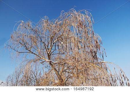 Icy tree branches of a weeping willow tree in the city park in Saratov.