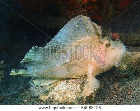 The surprising underwater world of the Bali basin, Island Bali, Puri Jati, anglerfish