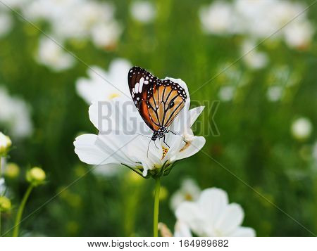 Orange butterfly on white cosmos flowers fields.