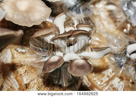 Cultivation Of Bhutan Oyster Mushrooms From Spawn In Farm.