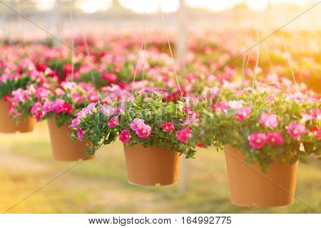 Pink petunia flowers in hanging flower pot at sunrise.