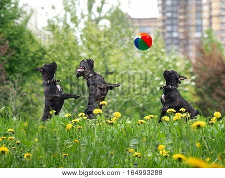 Dogs playing ball. Urban Park green grass dandelions. Funny French bulldogs