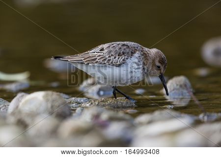 portrait of dunlin (Calidris alpina) wading with water and stones