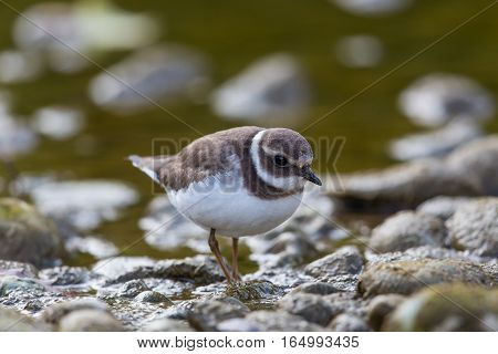 Portrait of ringed plover (Charadrius hiaticula) walking