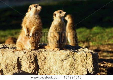 Meerkats watching on the stone. Peering out of danger.