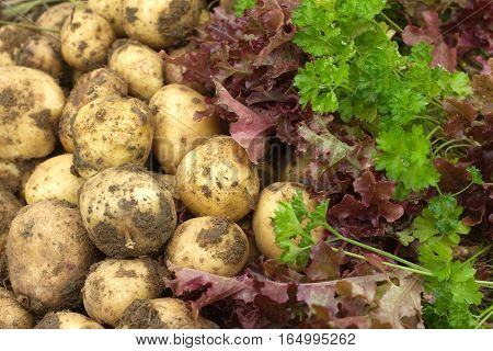 Red salad, green parsley and young potatoes as background close up