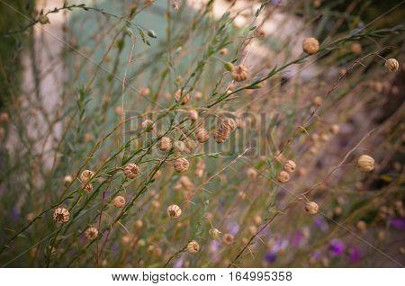 Linum Macrorhizum Decorative Linen Green Plant
