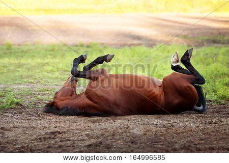 Happy bay horse lying in a field in summer