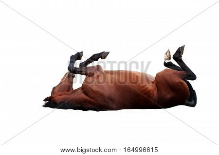 Happy bay horse lying on a white background