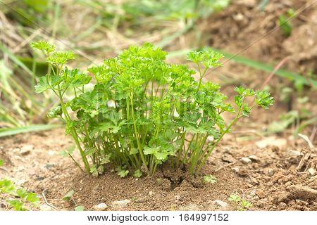 Green parsley bush grows in garden close up