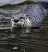 Otter - cute and cunning european mammal poster