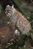 Portrait of an Eurasian Lynx (Lynx lynx) in the woods poster