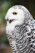 Snowy owl (Bubo scandiacus) smiling/laughing poster