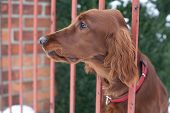 very cute guard dog poking his head through the fence and looking you up and down poster