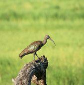 Hadada ibis on tree trunk in Tarangire national park Tanzania poster