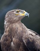 Steppe eagle - close-up portrait of this majestic bird of prey poster