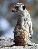 watchful meerkat standing guard poster