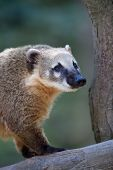 Close-up portrait of a very cute White-nosed Coati (Nasua narica) aka Pizote or Antoon. Diurnal, omnivore mammal poster