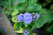 Blue Floss Flowers or Bluemink Blueweed Pussy Foot Mexican Paintbrush in Innsbruck Austria. Its scientific name is Ageratum Houstonianum native to central America. See my other flowers poster