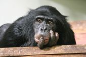 Chimp chimpanzee ape (Pan troglodytes) ape chimp looking thoughtful clever ponder primate poster