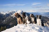 Four 4 dogs sitting together on the top of the mountain. They are purebred dogs: airedalle terrier, australian shepherd, belgian malinois, bearded collie, border collie. Obedient cute dogs different colors smiling on a snow. It is beautiful sunny backgrou poster