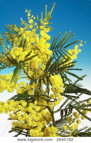 Mimosa Flowers On Blu Background