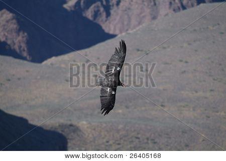 California condor flying in Grand Canyon, Arizona