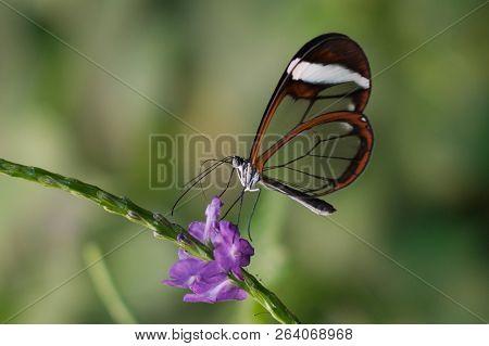 Butterfly Greta Oto, Glasswing Butterfly On Flower