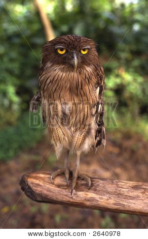 Owl Sitting