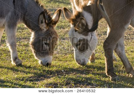 Mini donkey in green farm pasture group crowd