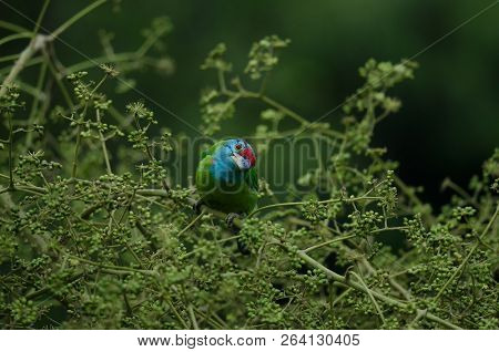 Blue-throated Barbet Perching On Tree In Nature (megalaima Asiatica)