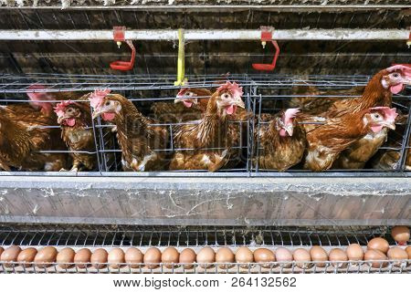 Layer Farming With Multilevel Production Line Conveyor Production Line Of Chicken Eggs Of A Poultry