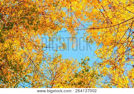 Autumn tree tops - orange autumn tree tops against blue sunny sky. Autumn trees branches on the background of the blue sky in sunny autumn weather, autumn forest landscape